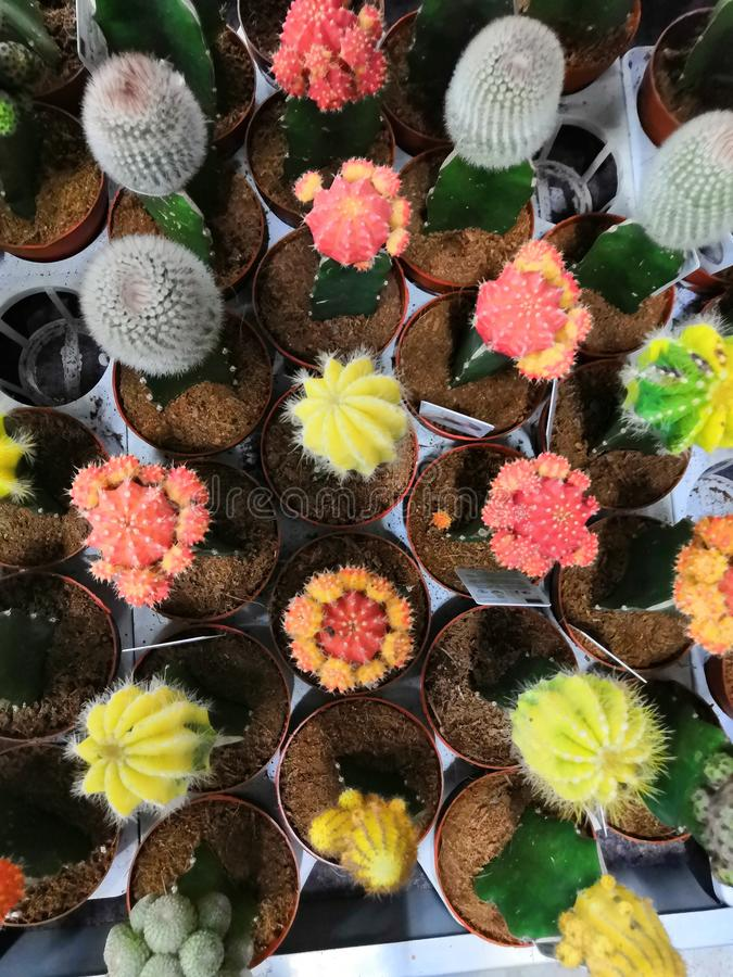 Colored bright cactus gymnocalycium plants in pots background. A variety of mini succulents colorful Gymnocalycium similar to flowers background, beautiful stock photo