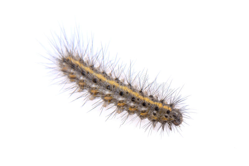 Colored caterpillar on a white background. Colored caterpillar isolated on a white background stock photography