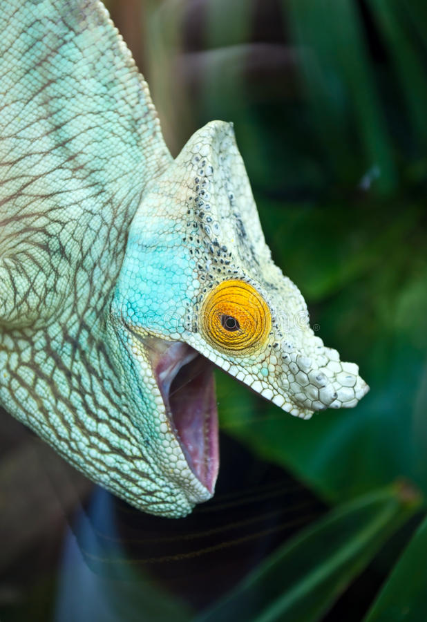 Download Colored chameleon stock photo. Image of camera, head - 20850694
