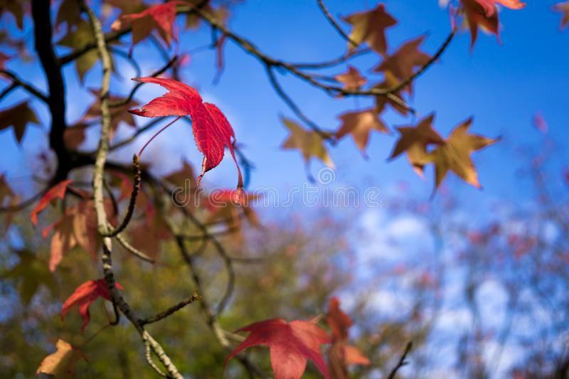 Colored fall leaves on blue sky. Beautiful colored fall leaves with blue sky stock image