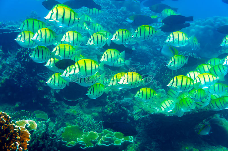 Colored fish over corals. Ao Sane Beach, Phuket, Thailand stock images