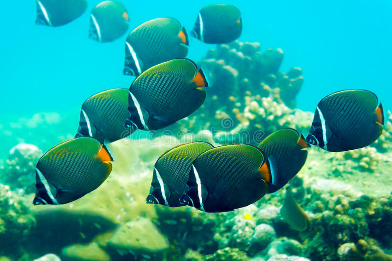 Colored fish over corals. Ao Sane Beach, Phuket, Thailand stock photography