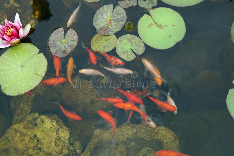 Colored fish in the pond royalty free stock photo