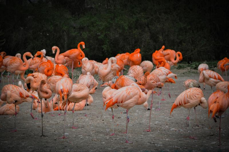 colored flamingos royalty free stock image