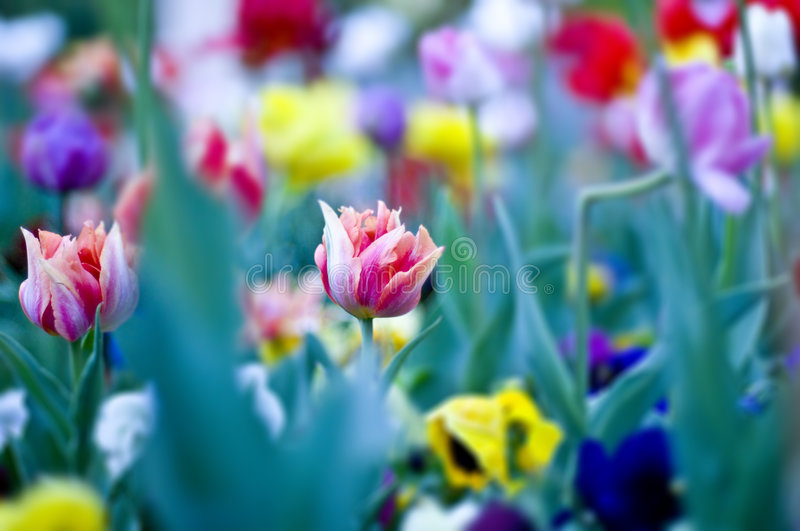 Colored flowers royalty free stock photo