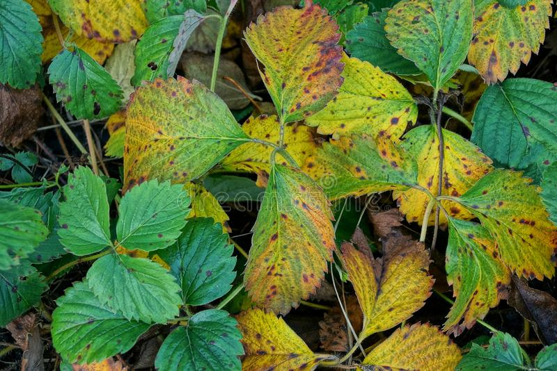 Colored leaves on strawberry bushes in the garden. Yellow green background with strawberry leaves in autumn garden stock image