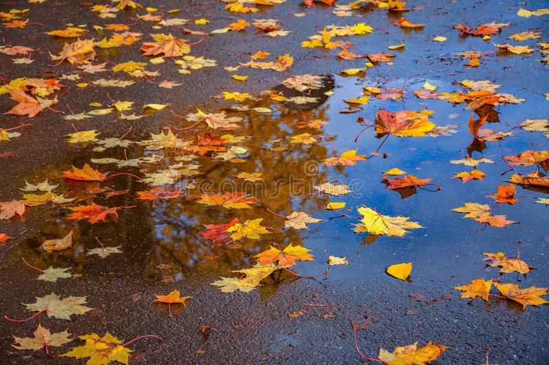 Colored leaves on wet pavement. Colorful leaves of maple and elm on wet pavement. Motley autumn carpet in inclement weather stock photos