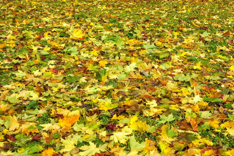 Colored maple leaves cover background in autumn. Vivid colored maple leaves cover background in autumn season stock image