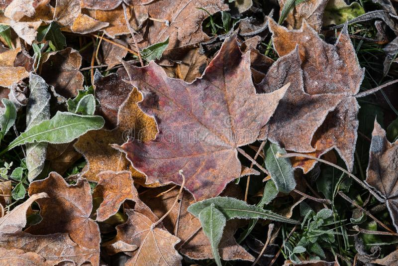 Colored maple leaves. Frosty brown autumn leaves. Natural environment background. stock images