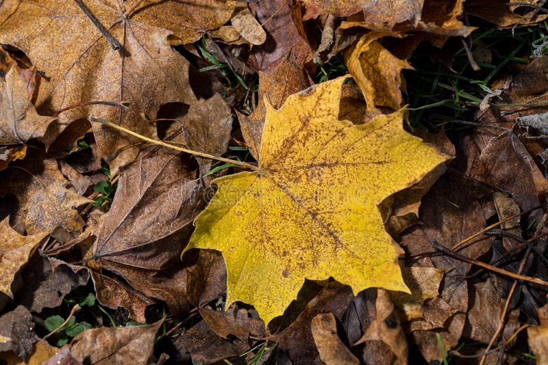 Colored maple leaves. Yellow autumn leaves. Natural environment background. stock images