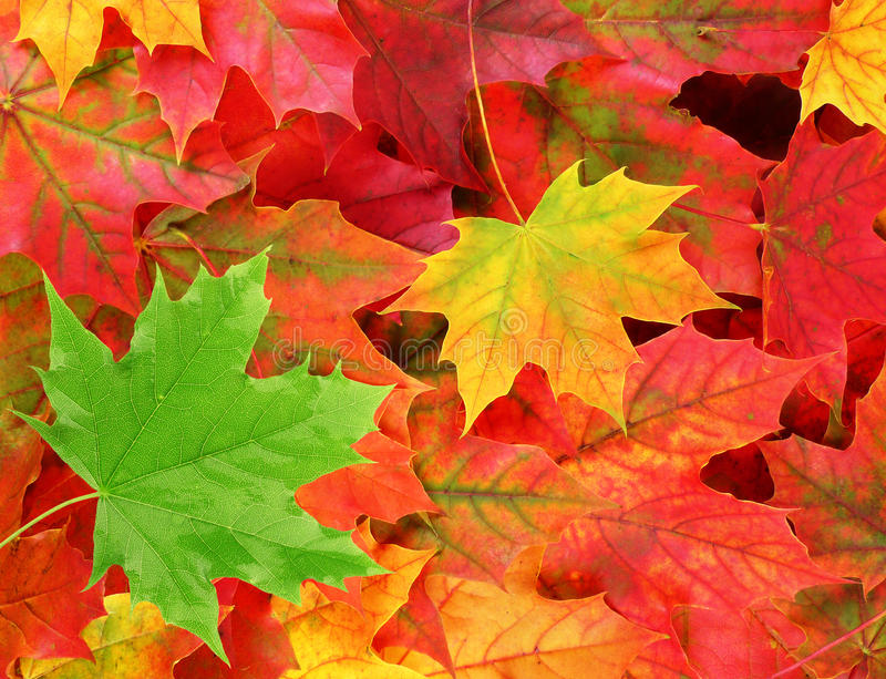 Colored maple leaves with one green leaf. Fall background - colored maple leaves with one green leaf royalty free stock image
