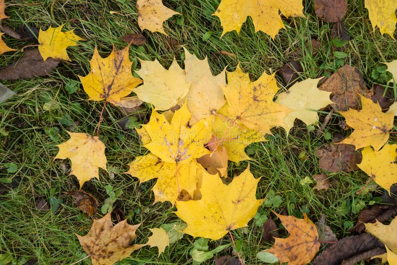 Colored maple leaves. Yellow autumn leaves. Natural environment background. stock photography