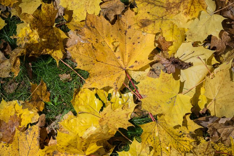 Colored maple leaves. Yellow autumn leaves. Natural environment background. stock photo