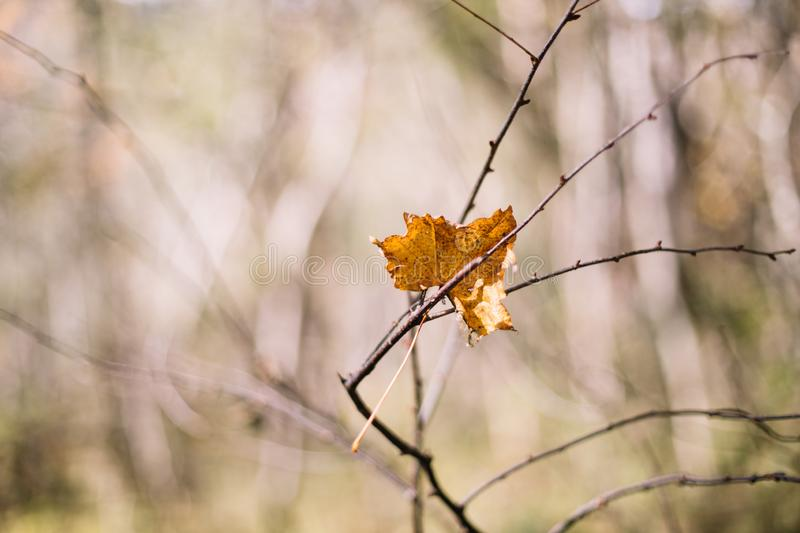 Colored maple leaves. Yellow rotten maple leaf in autumn stock image