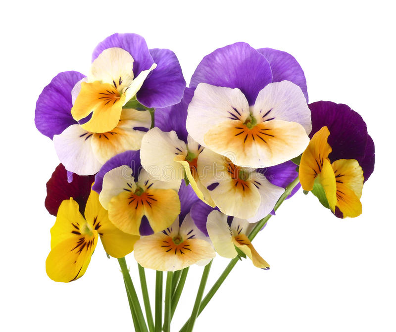 Colored pansies. Little bouquet of pansy flowers stock photos