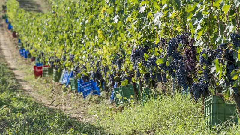Colored plastic boxes along the vine rows waiting to be filled with bunches of black grapes during the harvest in the Chianti area stock photography