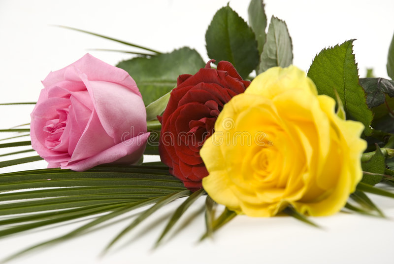 Colored roses royalty free stock photos
