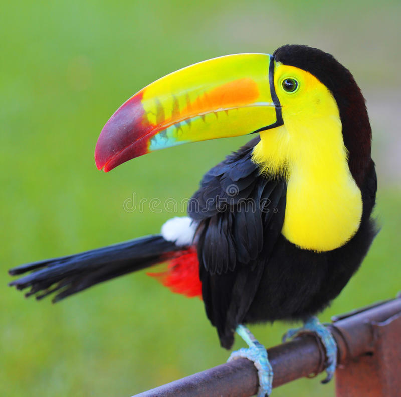 Colored Toucan. Keel Billed Toucan. From Central America royalty free stock images