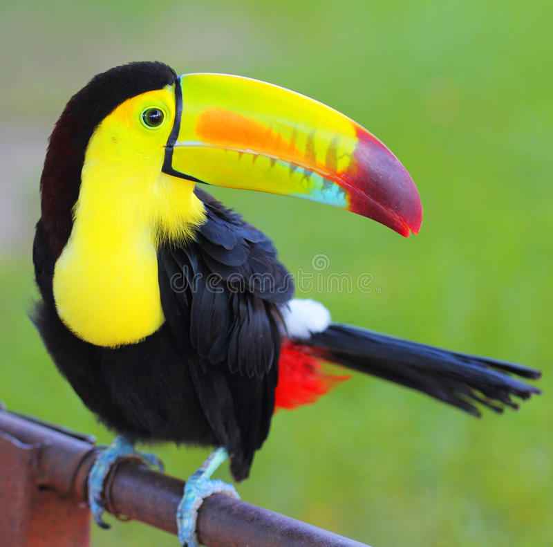 Colored Toucan. Keel Billed Toucan. From Central America stock photos