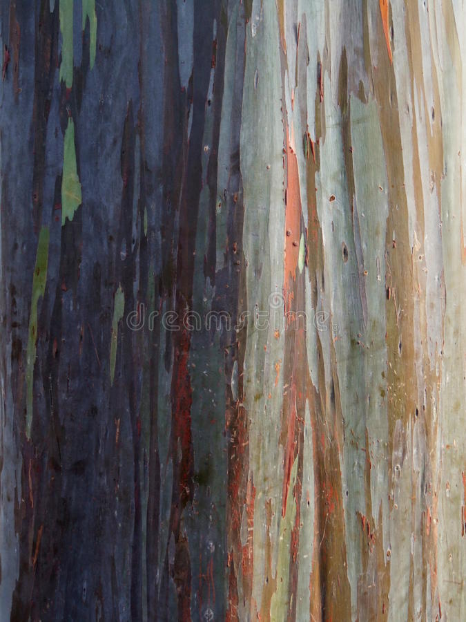 Colored tree bark of rubber tree at pineapple plantation, Oahu, Hawaii stock images