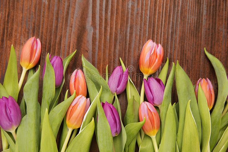 Colored tulip in a wood background royalty free stock photo