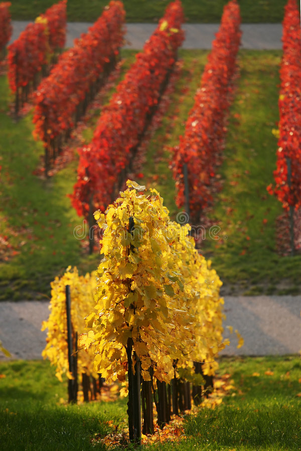Download Colored vineyard stock photo. Image of color, agriculture - 7993202