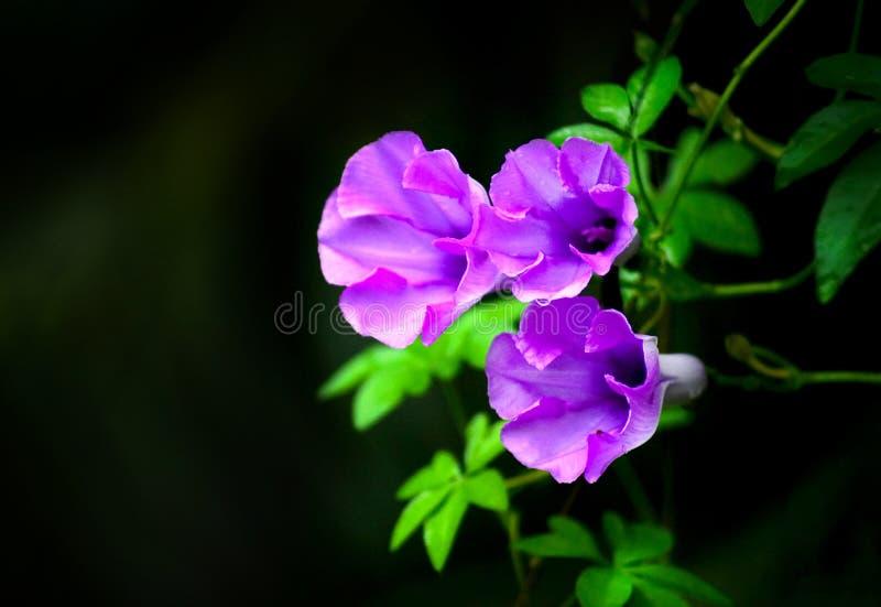 Coloree la correhuela púrpura imagenes de archivo