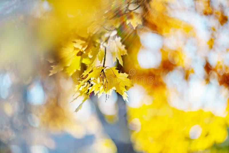 Colores amarillos del otoño del follaje Ramifique con las hojas amarillas en un fondo borroso Copie el espacio Fondo blur ruido foto de archivo