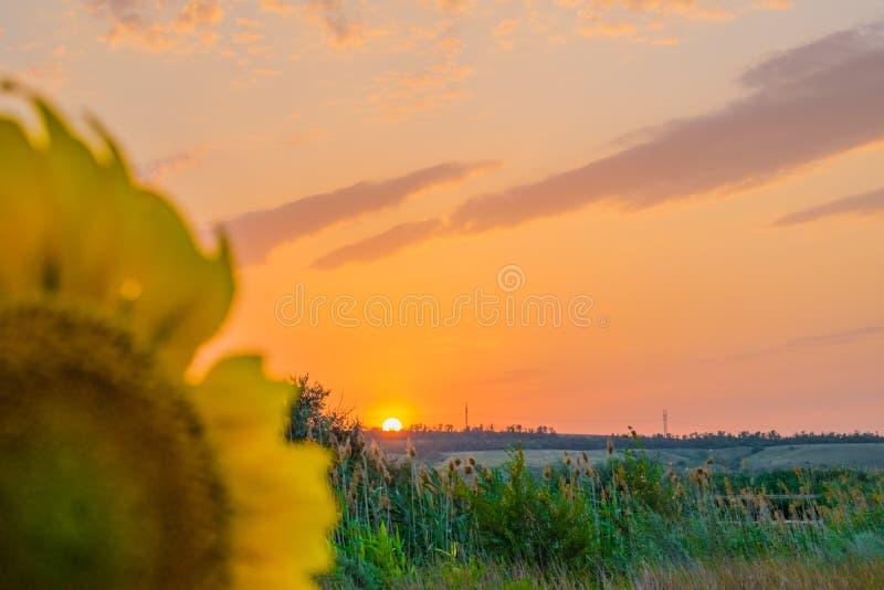 Colores calientes y calientes y sombras de paisajes hermosos de Rusia en la región de Rostov Campos locales de girasoles amarillo fotos de archivo