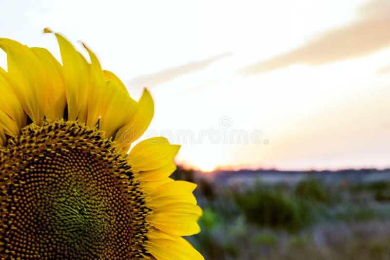 Colores calientes y calientes y sombras de paisajes hermosos de Rusia en la región de Rostov Campos locales de girasoles amarillo fotografía de archivo libre de regalías
