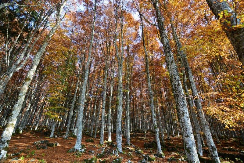 Colores de la haya del otoño imágenes de archivo libres de regalías