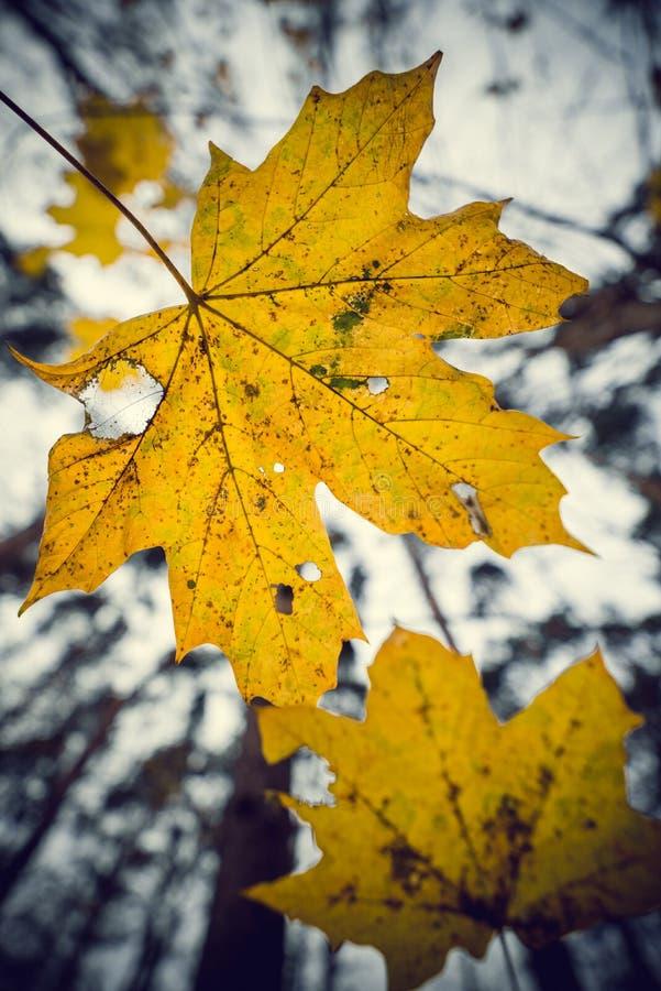 Colores del arce - amarillo fotos de archivo