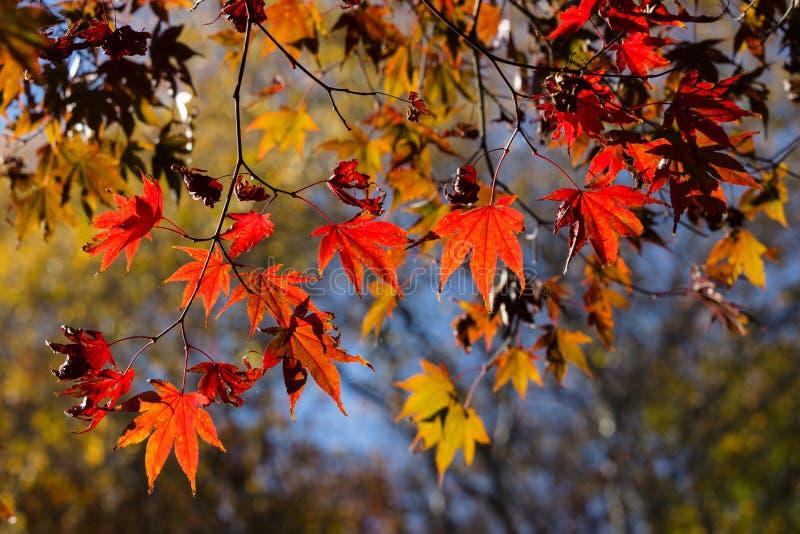 Colores del otoño de hojas de arce en retroiluminado fotografía de archivo