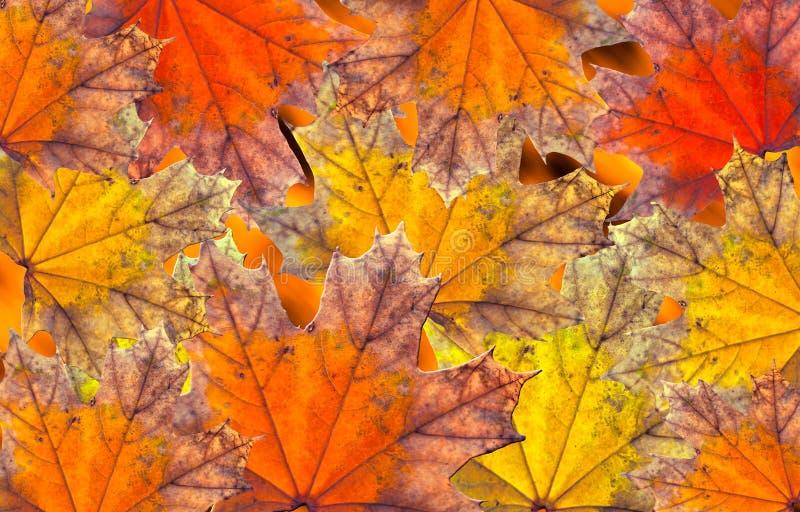 Colores 9 del otoño Fondo con las hojas de arce brillantes del otoño rojas y amarillas ilustración del vector