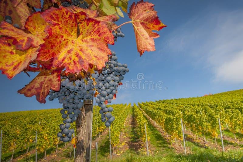 colores del Uva-otoño foto de archivo libre de regalías