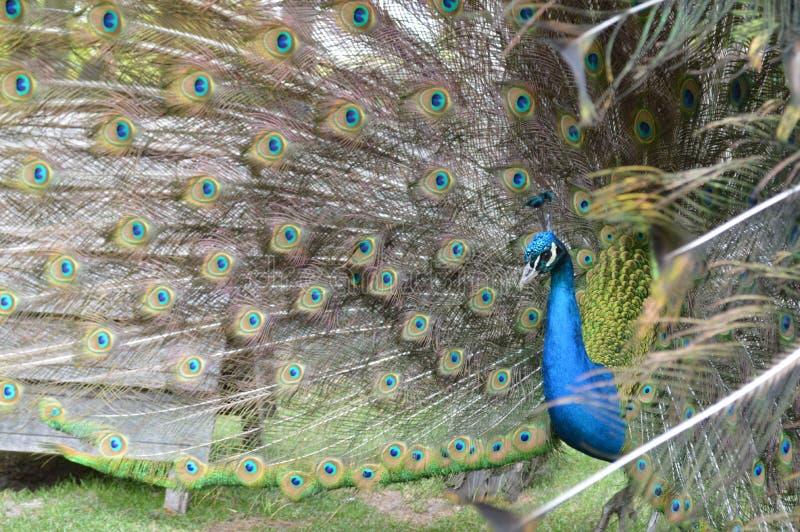 Colores en todos los ojos de un pavo real imagen de archivo