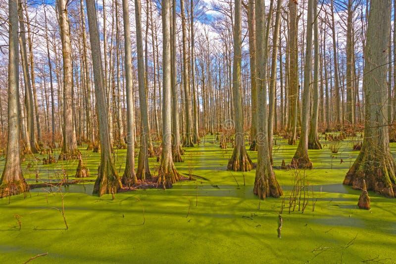 Colores místicos en un pantano de Cypress foto de archivo libre de regalías
