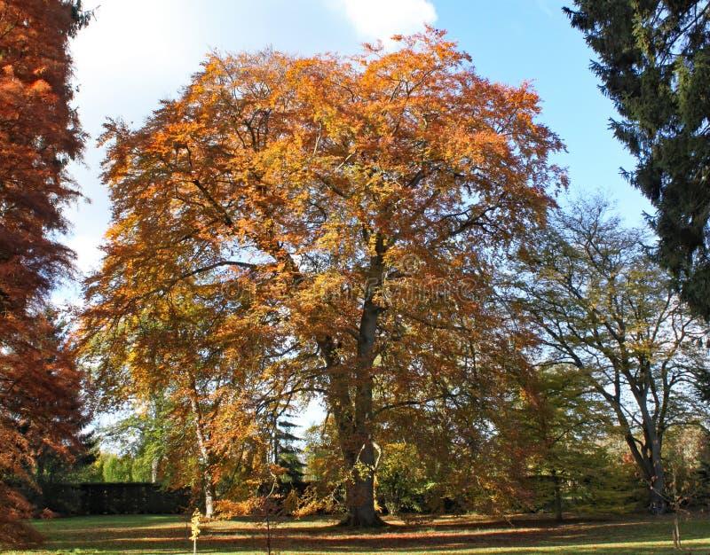 Colores otoñales de las hojas en un árbol en el arboreto de Arley en la región central de Inglaterra en Inglaterra foto de archivo
