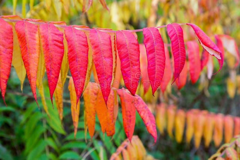 Colores rojos del otoño en hojas del árbol del terciopelo fotos de archivo libres de regalías