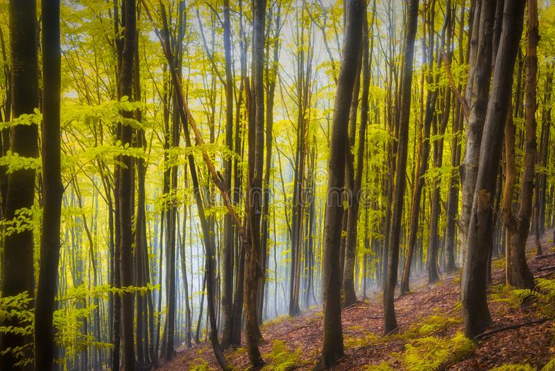 Colores rojos y coloridos del otoño en el bosque de la haya en la niebla fotos de archivo libres de regalías