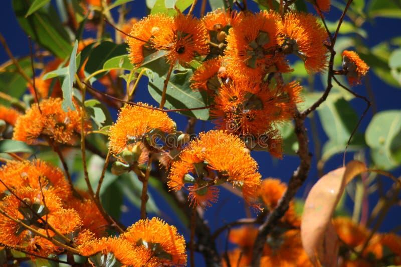 Colores vivos, planta australiana imagen de archivo libre de regalías