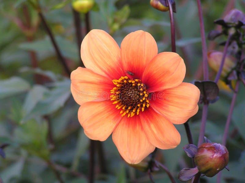 colorette Oscuro-hojeado de las dalias con color anaranjado fotos de archivo libres de regalías