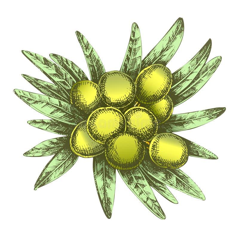 Colorez le vecteur agricole d'Olive Tree Branch Hand Drawn illustration stock