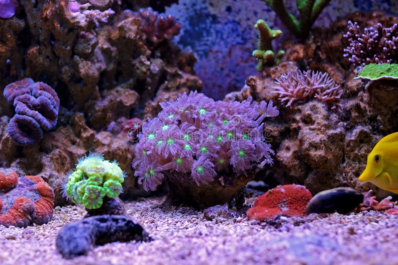 Colorful Acropora SPS coral in reef aquarium tank. In saltwater reef aquarium tank, underwater macro shot stock image
