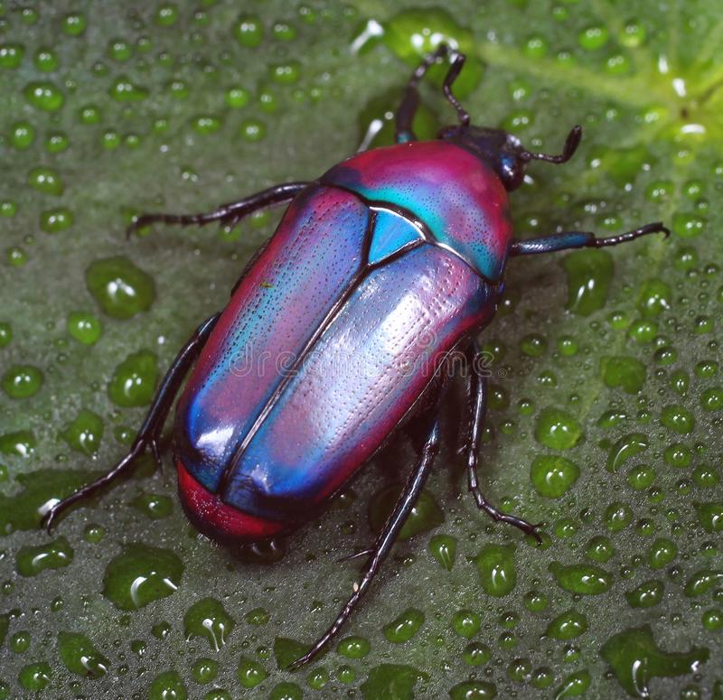 Colorful African fruit/flower Beetle also called Purple Jewel Beetle from Tanzania forest stock photography