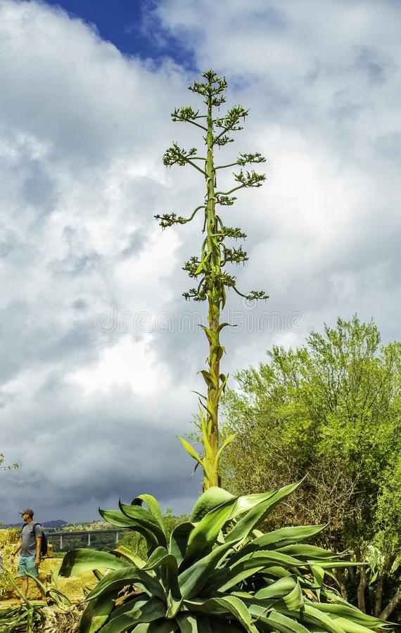 Colorful Agave plant and flowers reaching up tall into the sky of native plants in Sicily. Colorful Agave plant and flowers reaching up tall into the sky one of royalty free stock images