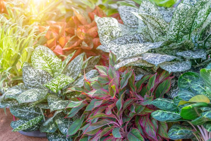 Colorful of Aglaonema plants in the garden. Variegated plants for beauty decoration and agriculture design.  royalty free stock photography