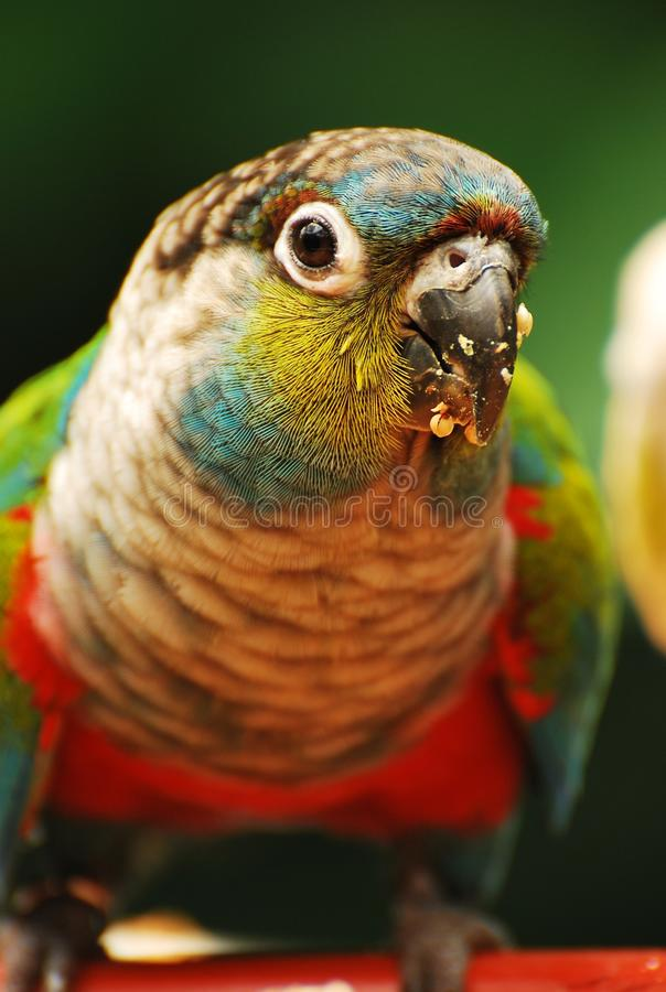 Free Colorful Amazon Parrot Royalty Free Stock Image - 24928536
