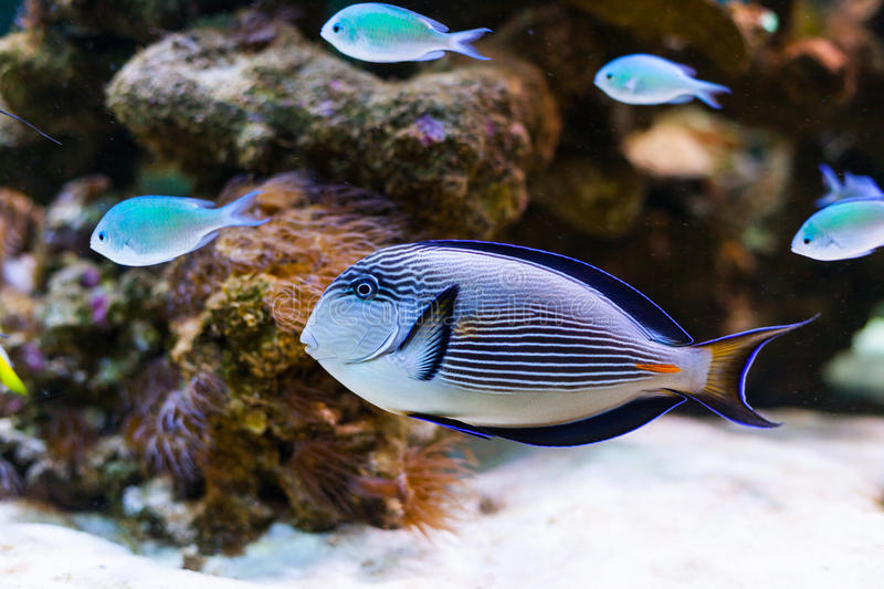 Colorful aquarium fishes. Swimming in water royalty free stock photo