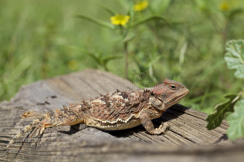 Download Colorful Arizona Horned Toad Stock Image - Image: 26484617